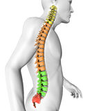 Spine anatomy human body. 3d illustration of spine split by region Royalty Free Stock Photos