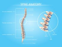 Human Spine Anatomy Vector Medical Infographic royalty free illustration