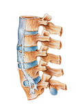 Spine - Ankylosing Spondylitis Royalty Free Stock Images