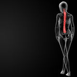 Spine bone. 3d rendered illustration of the female spine bone - back view Royalty Free Stock Photo