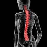 Spine bone. 3d rendered illustration of the female spine bone - back view Royalty Free Stock Photos