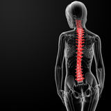 Spine bone Royalty Free Stock Image