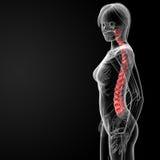 Spine bone. 3d rendered illustration of the female spine bone - side view Stock Photo