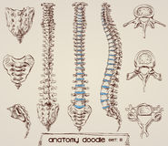 Spine and bone drawings Royalty Free Stock Photography