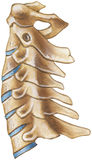 Spine - Cervical Region - Lateral View vector illustration