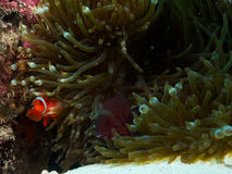 Spine-cheeked clownfish Royalty Free Stock Photography