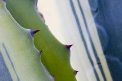 Spine del cactus Fotografia Stock Libera da Diritti