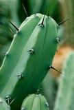 Spine del cactus Immagini Stock