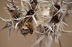 Spine del cardo selvatico e nido delle vespe Immagini Stock