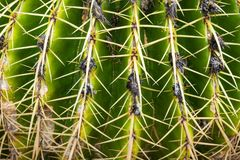 Spine detail of golden barrel cactus. Echinocactus grusonii royalty free stock photography