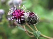 Spine di fioritura Fotografie Stock Libere da Diritti