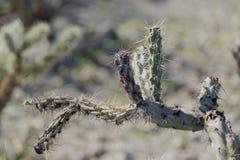 Spine di un cactus Immagini Stock