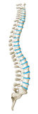 Spine diagram showing back pain Stock Image