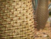Spine dorsali del cactus Fotografie Stock Libere da Diritti