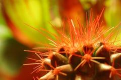 Spine dorsali del cactus Immagini Stock