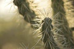 Spine dorsali del cactus Fotografia Stock