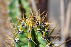 Spine dorsali del primo piano di un cactus Fotografie Stock