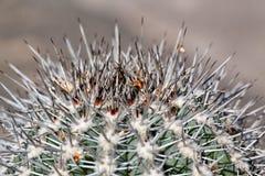 Spine dorsali del primo piano di un cactus Fotografia Stock Libera da Diritti