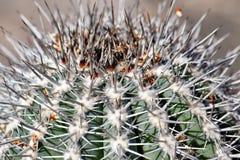Spine dorsali del primo piano di un cactus Fotografia Stock