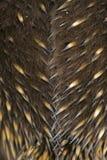 Spine dorsali di Echinda Fotografia Stock