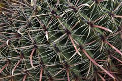 Spine dorsali rosse e bianche di un cactus Fotografia Stock Libera da Diritti