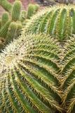 Spine dorsali sul cactus verde Fotografia Stock