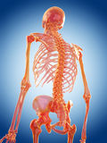 The spine Stock Image