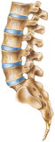 Spine - Lumbar Region. Shown is the lumbar region of the human spine - lateral view stock photos