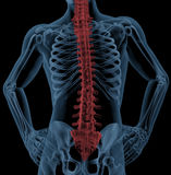 Spine of a medical skeleton Stock Images