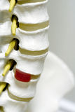 Spine Model. A model of a spine, close up Stock Images