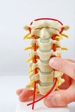 Spine Model with pointing finger Royalty Free Stock Photography