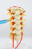 Spine Model with pointing pen. Image of a model of a spine with a pointing pen Stock Images
