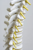 Spine model up close. A close up of a model of a spine Stock Photos