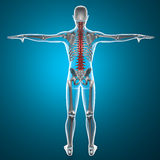 Spine x-ray skeleton Royalty Free Stock Images