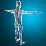 Spine x-ray skeleton. Red spine x-ray skeleton Royalty Free Stock Photos