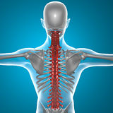 Spine x-ray skeleton Royalty Free Stock Photography