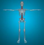 Spine x-ray skeleton Royalty Free Stock Image