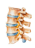 Spine - Spinal Nerve Irritation Stock Photo