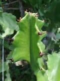 Spine taglienti dell'albero malese verde di euforbia Immagini Stock