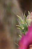 Spine taglienti sul cactus con il fiore rosa Fotografie Stock