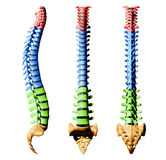 Spine Vertebrae - Color Parts royalty free illustration