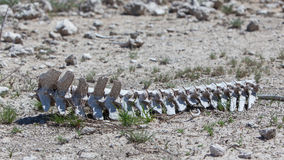 Spine of a wild beast lying on the ground in Etosha national par Stock Photo