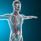 Spine x-ray skeleton Stock Images