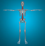 Spine x-ray skeleton Royalty Free Stock Image