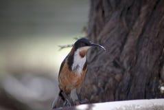 Spinebill del este Acanthorhynchus Tenuirostris Venus Bay, Victoria, Australia Fotos de archivo libres de regalías