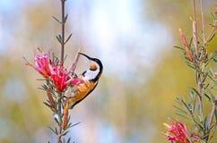 Spinebill oriental australien alimentant sur une fleur de diable de montagne Images stock