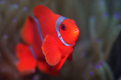 Spinecheek anemone fish Royalty Free Stock Photography