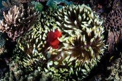 Spinecheek Anemonefish σε Anemone Στοκ εικόνες με δικαίωμα ελεύθερης χρήσης