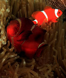 Spinecheek Anemonefish Stock Photos