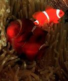 Spinecheek Anemonefish Fotografie Stock